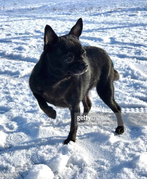 Black Dog Walking On Snow Covered Field