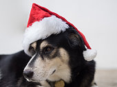 A black dog with red Santa Claus on her head is kind of curious with the sound she heard. Merry Christmas