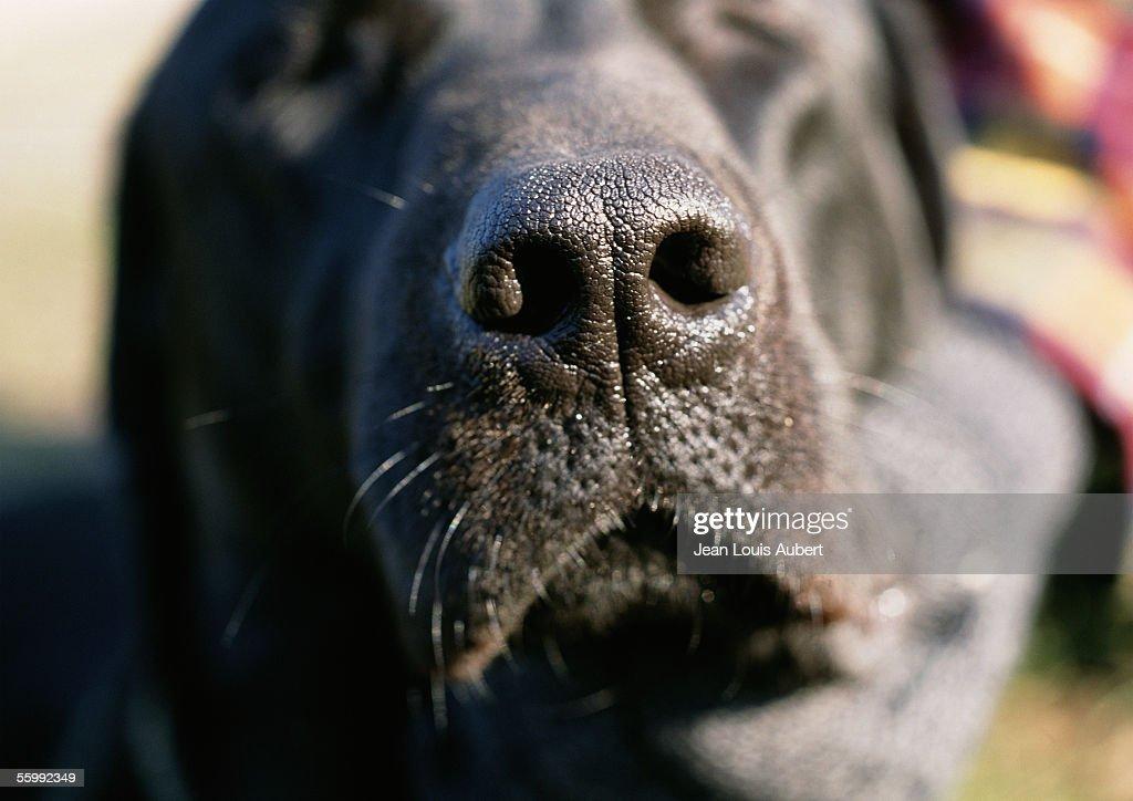 Black dog's nose.