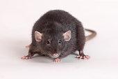 portrait of a black domestic rat close up
