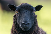 Face of a black sheep ewe looking directly at camera in the Spring. Brecon Beacons, Wales, March