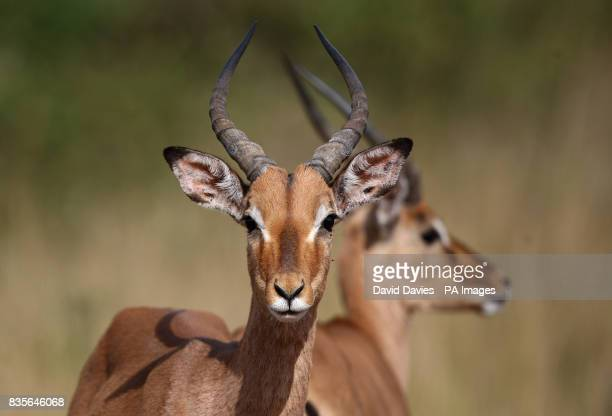 A Black Faced Impala in Tala Game Park near Durban South Africa Durban South Africa