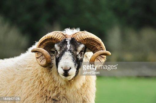Black faced ram in a Scottish rural setting