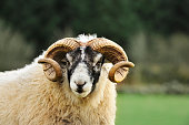 """""""A black faced ram looking at the camera photographed in rural Dumfries & Galloway, south west Scotland."""""""