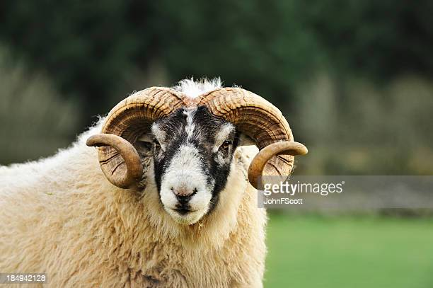 Black faced ram in a Scottish rural setting
