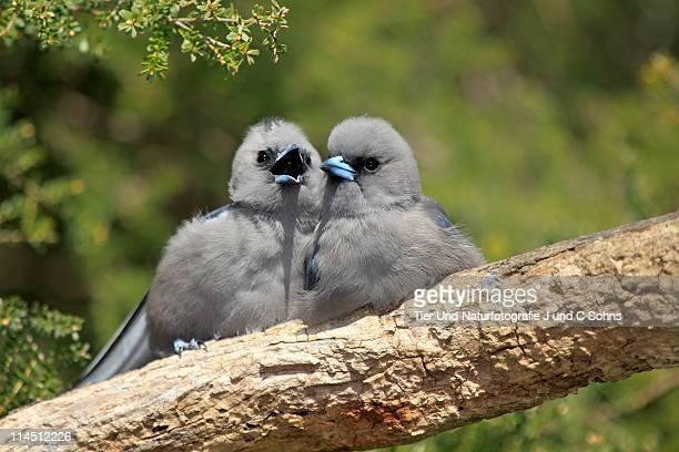 Black Faced Woodswallow (Artamus cinereus)