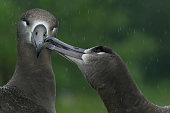 Black Footed Albatross pair