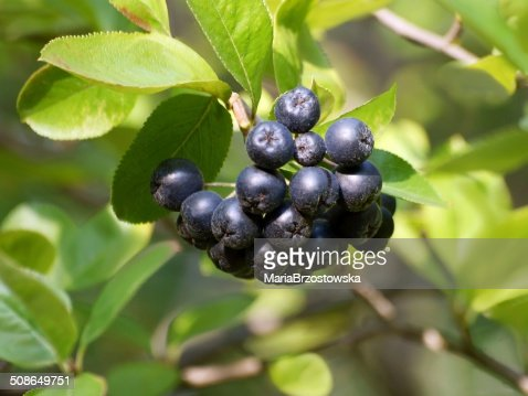 black fruits of aronia : Stock Photo