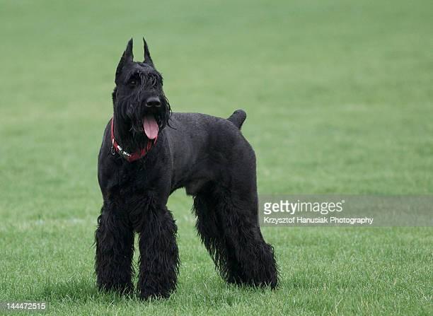Black Giant Schnauzer dog in grass