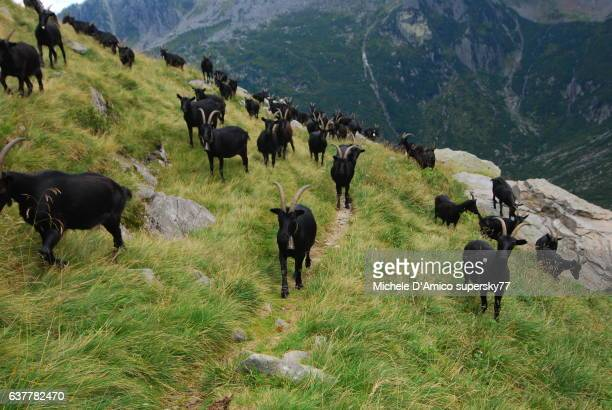 Black goats on an alpine pasture