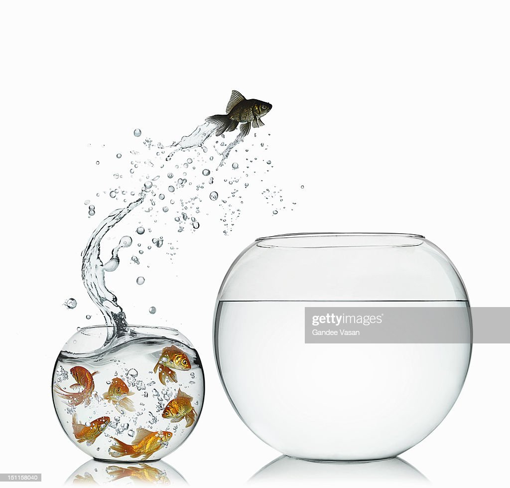 Black Goldfish : Stock Photo