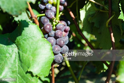 Black grapes hangs on the grapevine. : Stock Photo