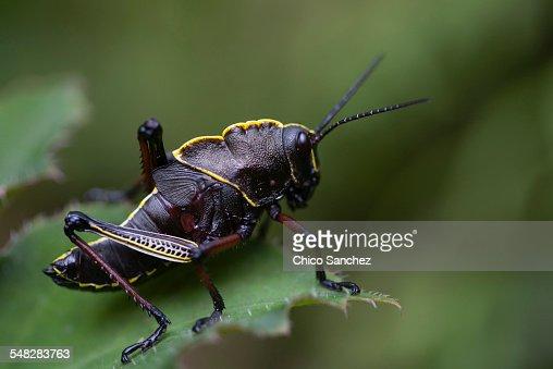 A black grasshopper perches on a plant in Xilitla, San Luis Potosi, Mexico