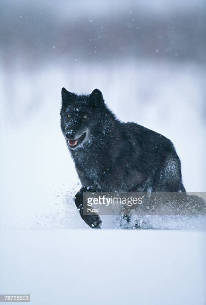 Black Gray Wolf Running in Snow