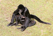 Black Headed Spider Monkey Motherhood