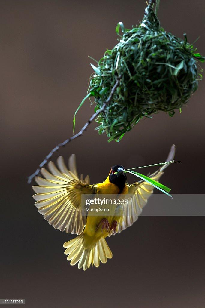Black headed weaver building nest