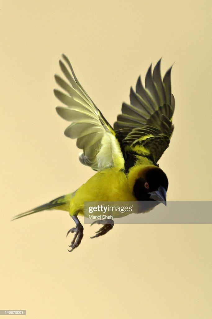 Black Headed Weaver in flight : Stock Photo