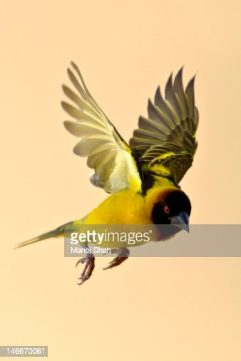 Black Headed Weaver in flight