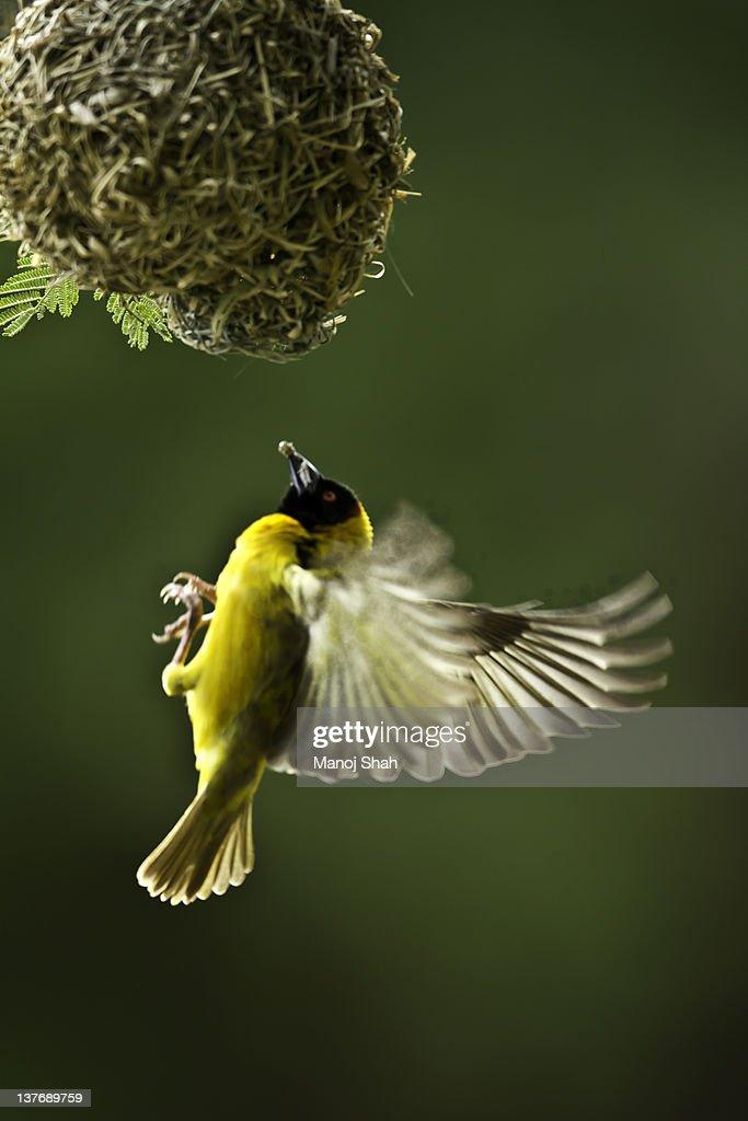 Black Headed Weaver : Photo