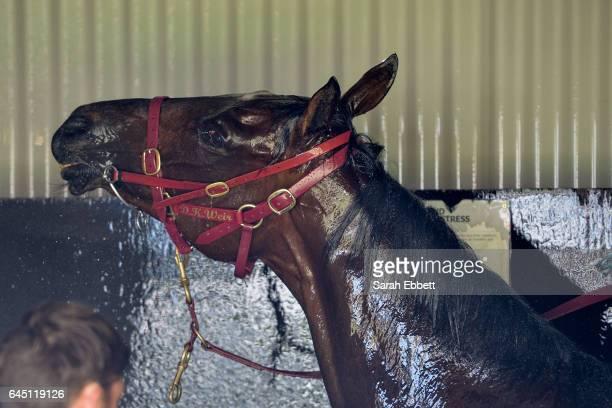 Black Heart Bart after winning the italktravel Futurity Stakes at Caulfield Racecourse on February 25 2017 in Caulfield Australia