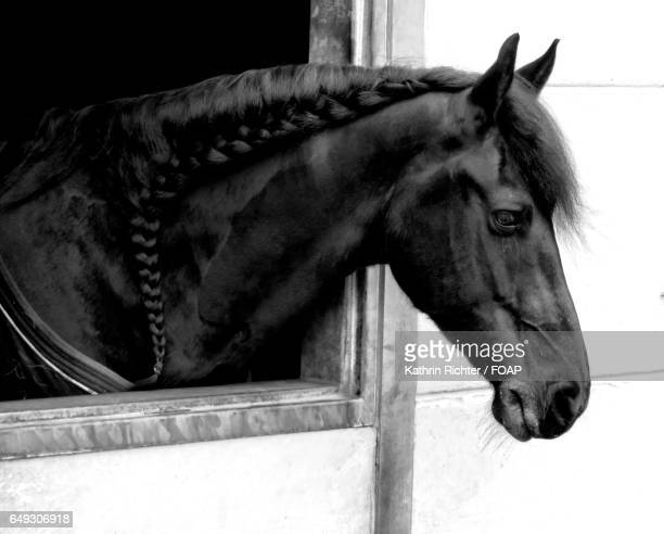Black horse in stable