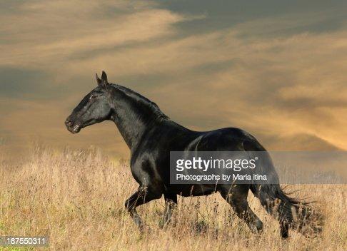 Black horse in sunset