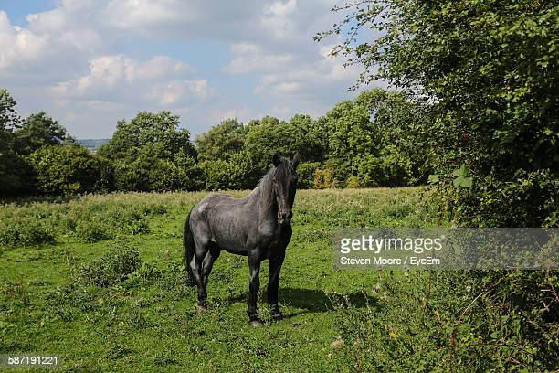 Black Horse Standing On Grassy Landscape Against Cloudy Sky