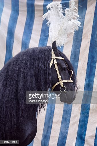 Black horse with feather headdress : Stock Photo