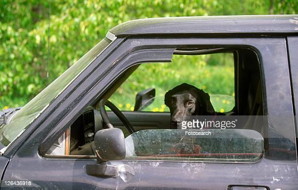 Black hound dog in window of truck