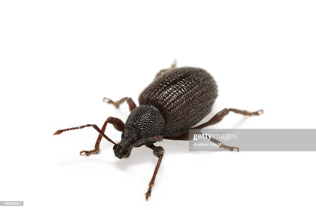 Black insect on white background