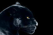 black jaguar on a black background , isolated objects, wild animals