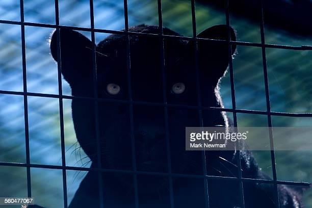 Black jaguar, panther