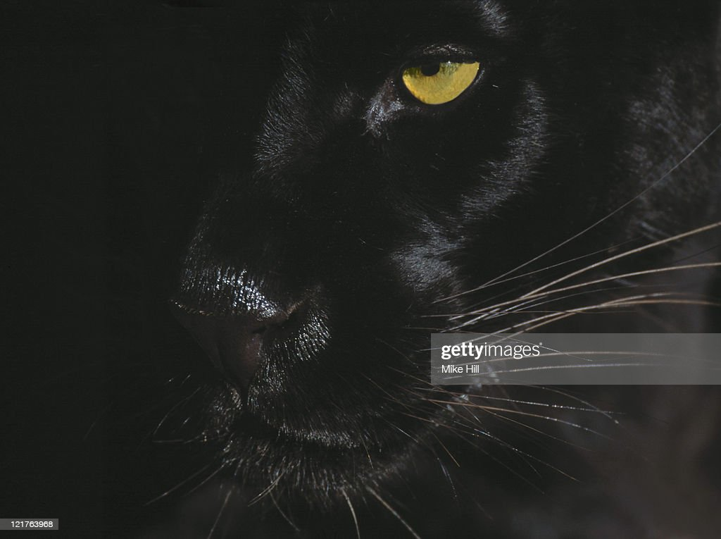 Black jaguar, panthera onca, close up of face