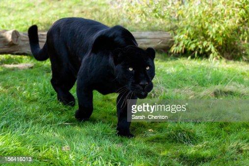 Black Jaguar Stalking Through Grass Stock Photo Thinkstock
