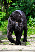 Black Jaguar - walking towards viewer