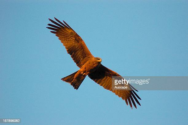 Black kite in flight Ethabuka Reserve northern Simpson Desert/Channel Country southwest Queensland Australia