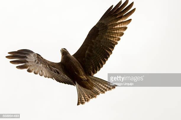 Black kite (Milvus migrans) in midair