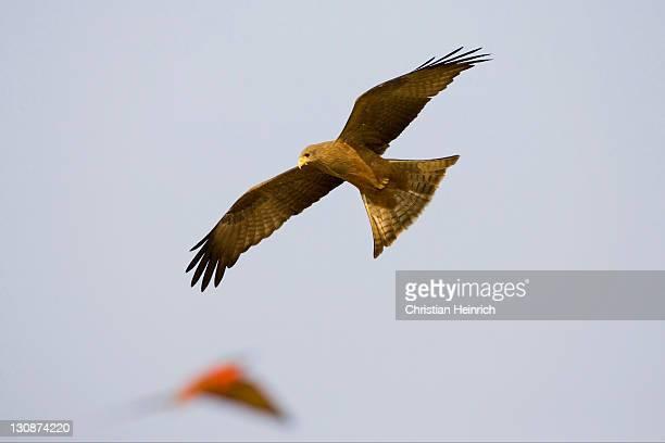 Black kite (Milvus migrans) is hunting a Carmin Bee-eater (Merops nubicoides), Zambezi (Sambezi), Caprivi, Namibia, Africa