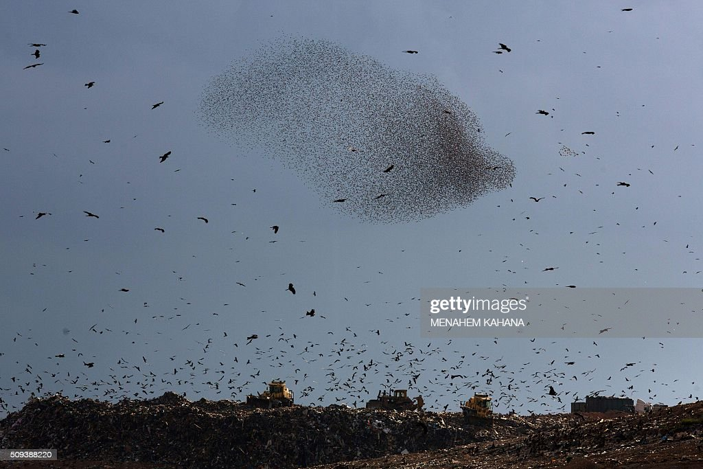 A picture taken on January 10, 2016 shows a murmuration of starlings performing their traditional dance fly and black kites flying around before landing to sleep near the southern Arab Israeli city of Rahat, in the northern Israeli Negev desert. / AFP / MENAHEM KAHANA