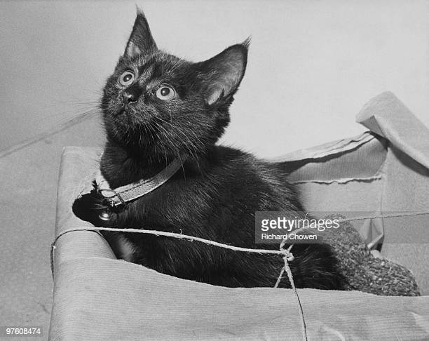 A black kitten found abandoned in a box in Bedford Hill Balham London November 1962 She is at the RSPCA headquarters in Jermyn Street awaiting a new...