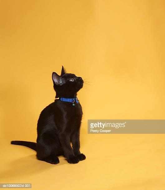 Black kitten in collar, studio shot