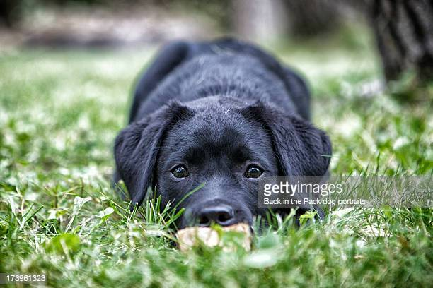 Black Lab puppy dog crouching in grass
