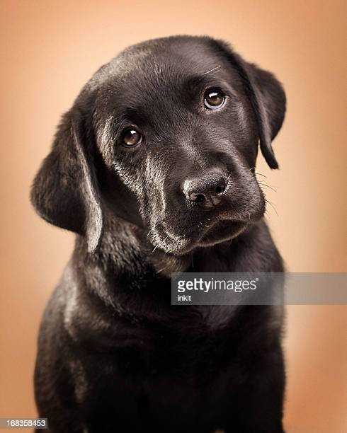 Black Lab Puppy Portrait