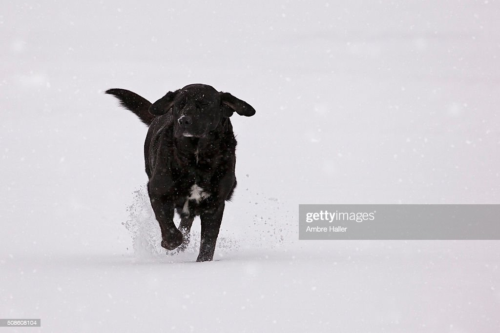 Black Lab running through the snow : Stock Photo