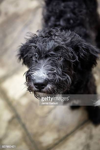 Black labradoodle puppy looking up