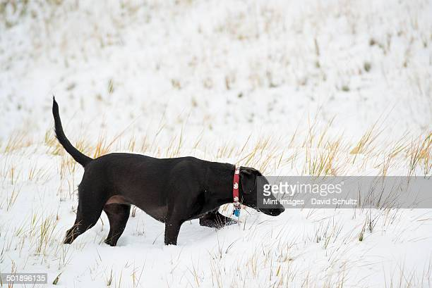 A black Labrador dog in snow.
