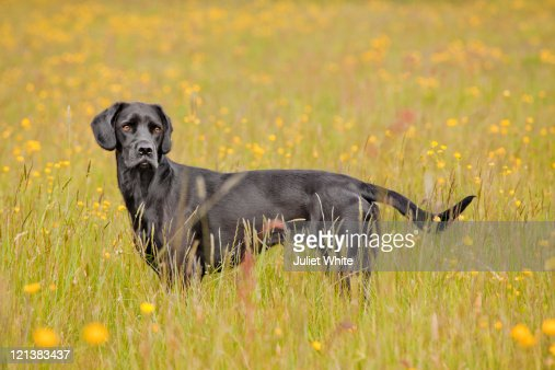 Black Labrador Dog Standing in a Buttercup Meadow : Stock Photo
