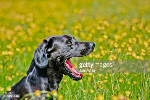 Black Labrador Dog with Mouth Wide Open : Stock Photo