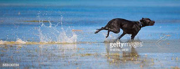Black labrador mix speeding