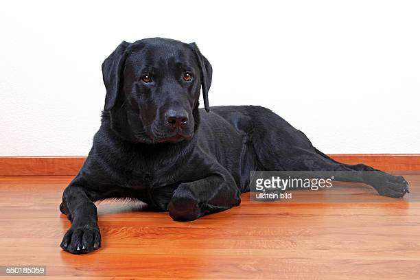 black Labrador Retriever dog male portrait domestic dog